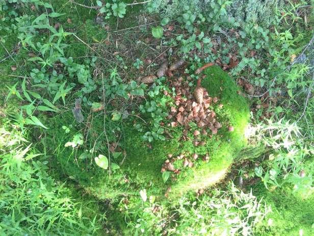 Ekorn har spist av grankongler på en trestubb - Oslomarka - Fantastiske marka