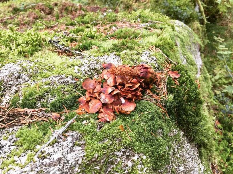 Ekorn har spist av grankongle - Oslomarka - Fantastiske marka