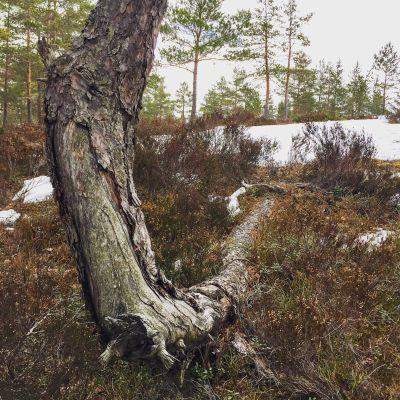 GRavitropisme i et furutre - Oslomarka - Østmarka - Fantastiske marka