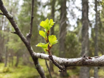 Løv som spretter fra et tre - Nordmarka - Oslomarka - Fantastiske marka