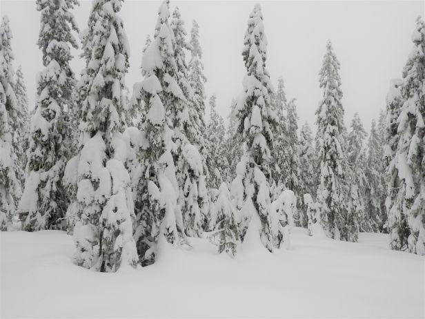 Snøtunge grantre langt inne i vinterskogen - Oslomarka - Nordmarka - Fantastiske marka