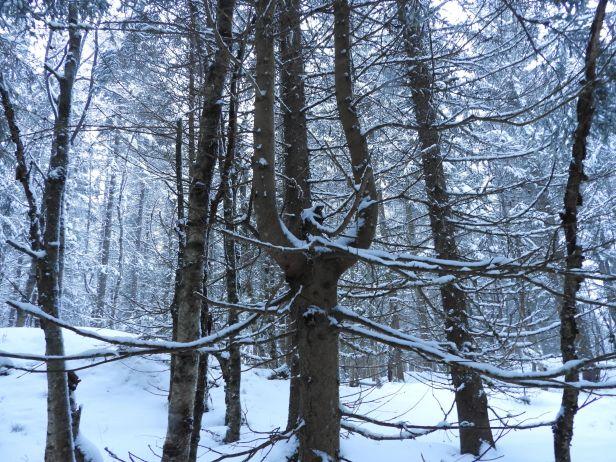 Grantre med to grener som vokser videre som stammer - Oslomarka - Fantastiske marka