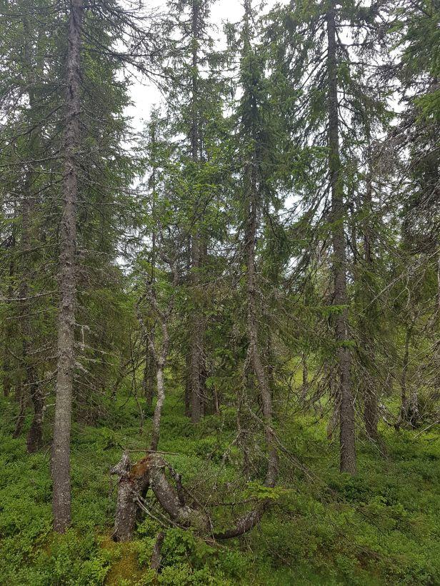 Grantre som har justert veksten kraftig - Oslomarka - Fantastiske marka