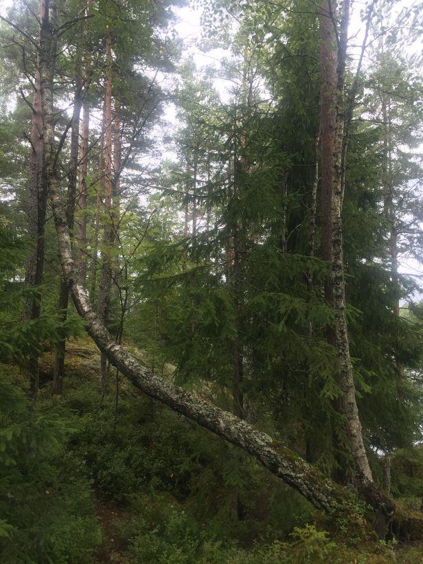 Gravitropisme på et bjørketre - Oslomarka - Fantastiske marka