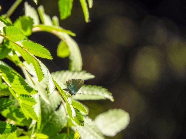 Grønnstjertvinge på et blad - Sommerfugler - Oslomarka