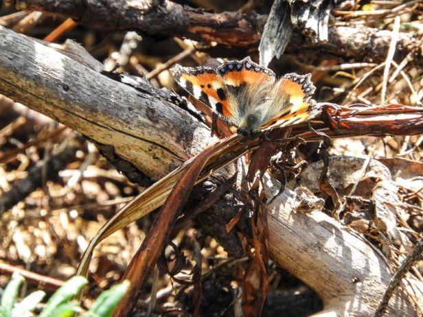 Neslesommerfugl i Nordmarka - Sommerfugler - Oslomarka