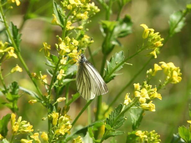 Rapssommerfugl på villblomst - Sommerfugler - Oslomarka