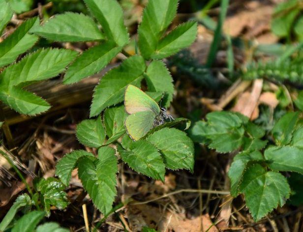 Sommerfuglen grønnstjertvinge - Oslomarka - Lillomarka - Fantastiske marka