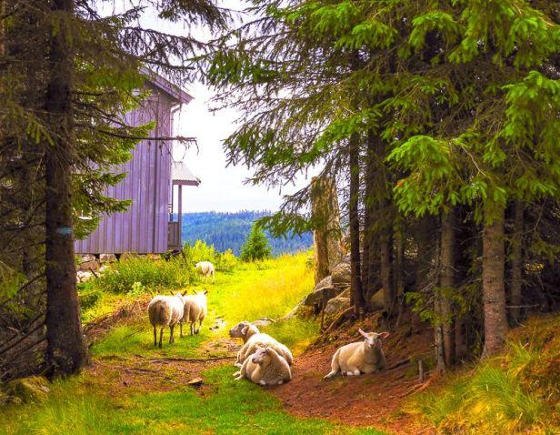 Sauer på utmarksbeite på Snellingen - Oslomarka - Romeriksåsen - Fantastiske marka