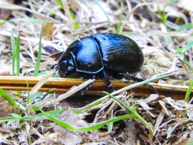 Insekter - Biller - stor tordivel - Oslomarka - Fantastiske marka