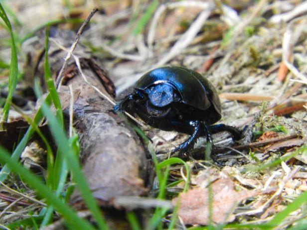 Insekter - Biller - Tordivel - Oslomarka - Fantastiske marka