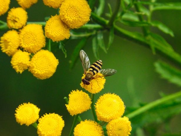Insekter - Blomsterflue - vanlig hageblomsterflue - Oslomarka - Fantastiske marka
