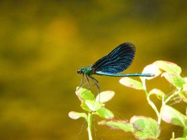 Insekter - Øyenstikker - blåpraktvannymfe - Oslomarka - Østmarka - Fantastiske marka