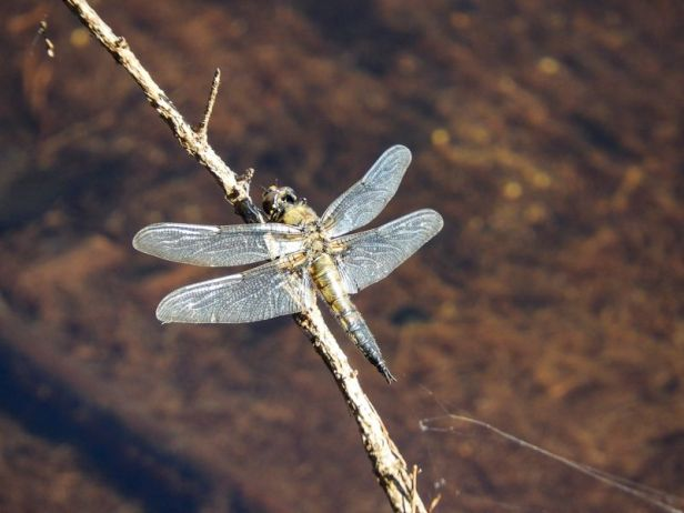 Insekter - Øyenstikkere - Libelle - Oslomarka - Fantastiske marka