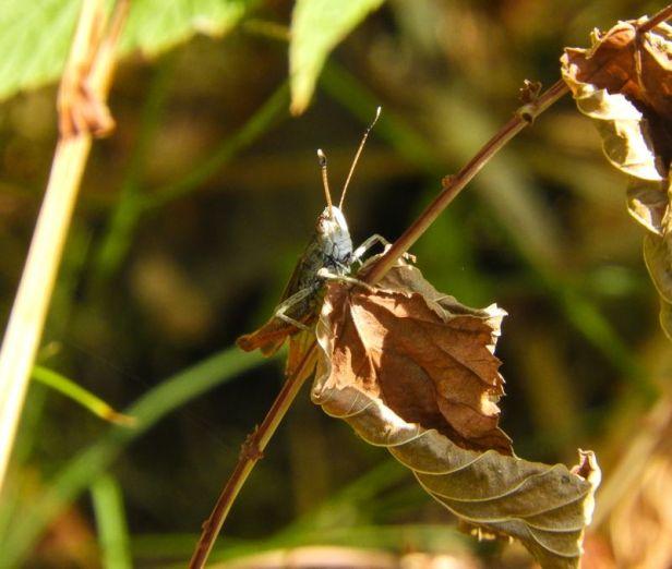 Insekter - Markgresshopper - stor køllegresshoppe - Oslomarka - Fantastiske marka