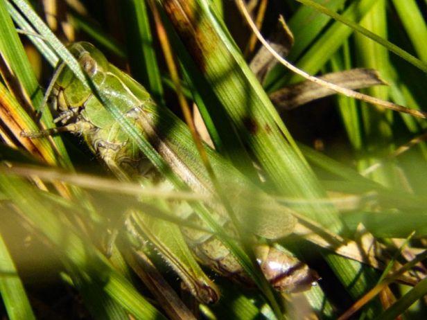 Insekter - Markgresshopper - Oslomarka - Fantastiske marka