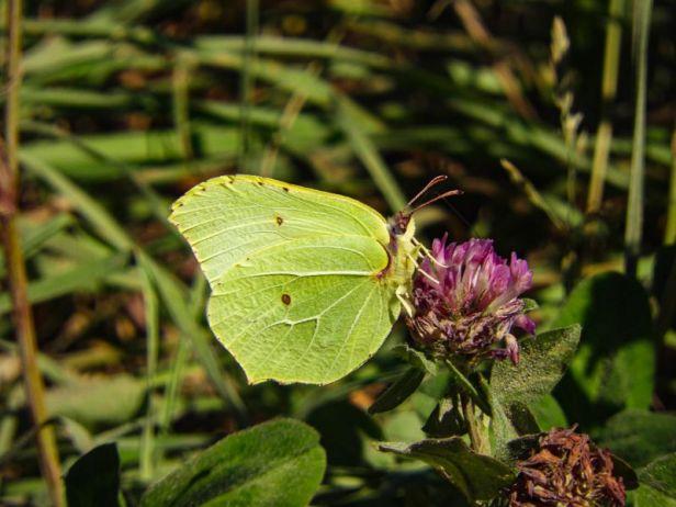 Sitronsommerfugl - Sommerfugler - Oslomarka - Fantastiske marka