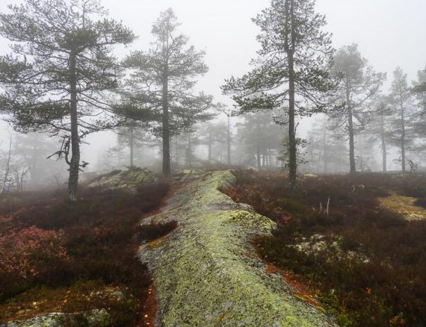 Tåke i furuskogen - Oslomarka - Nordmarka - Fantastiske marka